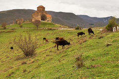 Alte Kirche mit Kühen Stockfotos