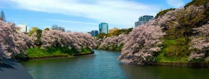 Alte Kirschbäume entlang Tokyo-` s Chidorigafuchi Burggraben wandeln den Park in eine träumerische blühende Landschaft um Lizenzfreie Stockbilder