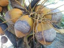 Alte Kokosnuss auf Palme Lizenzfreies Stockbild