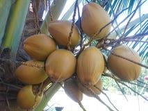 Alte Kokosnuss auf Palme Stockfotos