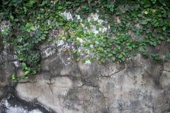 Alte Kolonialzeitwand in Südostasien mit Reben, Kriechpflanzen, Lizenzfreies Stockfoto