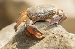 Alte Krabbe ist der Wächter des Trinkwassers Stockbild