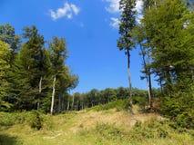 Alte latifoglie in foresta decidua Fotografia Stock