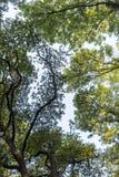 Alte latifoglie in foresta decidua Immagine Stock Libera da Diritti