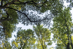 Alte latifoglie in foresta decidua Immagini Stock