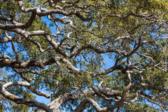 Alte Live Oak Trees Under Blue-Himmel Lizenzfreie Stockbilder