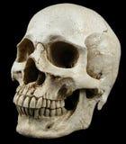 Alte menschliche Schädelreplik Stockfoto