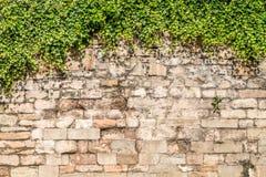 Alte mittelalterliche Wand abgedeckt durch Efeu Stockbilder
