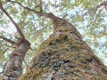 Alte moosige Bäume im foresr Abschluss frühen Morgens oben der Barke eines Baums bedeckt im grünen Moos stockfoto