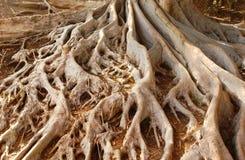Alte Moreton-Bucht-Feigenbaum-Wurzeln im Balboa-Park Lizenzfreie Stockfotos