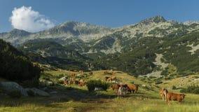 Alte mucche Fotografia Stock Libera da Diritti
