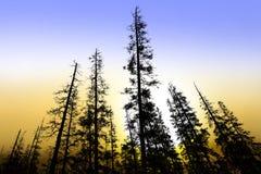 Alte Nadelbaumbäume an der Dämmerung stockbilder