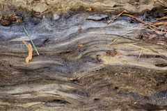 Alte nasse Kiefer des Naturholzhintergrundes Sonniger Frühlingstag Lizenzfreies Stockbild