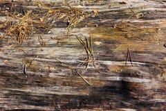 Alte nasse Kiefer des Naturholzhintergrundes Sonniger Frühlingstag Stockbild