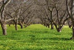 Alte Obstgarten- und Frühlingsblüte Stockfotos