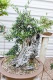 Alte Olea europaea Bonsais, olivgrüne Bonsais in einem Garten Stockfoto