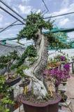 Alte Olea europaea Bonsais, olivgrüne Bonsais in einem Garten Lizenzfreie Stockfotos