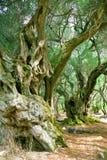 Alte Olivenbäume Stockfotos