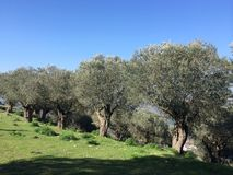 Alte Olivenbäume Lizenzfreie Stockfotos
