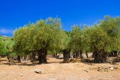Alte Olivenbäume Stockfotografie