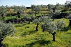 Alte Olivenbäume auf der Steigung des Hügels, Andalusien, Spanien Lizenzfreies Stockbild