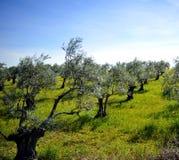 Alte Olivenbäume auf der Steigung des Hügels, Andalusien, Spanien Stockfotografie
