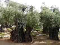 Alte Olivenbäume im Garten von Gethsemane, Jerusalem, Israel lizenzfreie stockfotos