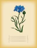 Alte Papierschablone mit blauer Kornblume. Vektor Lizenzfreies Stockbild