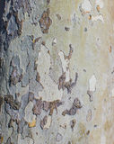 Alte Pappel Lizenzfreie Stockbilder
