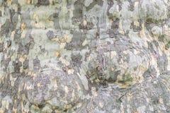 Alte Pappel Stockbilder