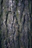 Alte Pappel Baumstamm Alter hölzerner Hintergrund Stammdetail Stockbilder