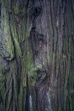 Alte Pappel Baumstamm Alter hölzerner Hintergrund Stammdetail Stockbild