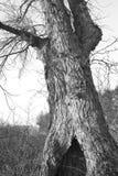 Alte Pappel im Winter Lizenzfreie Stockfotografie