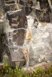Alte Petroglyphen Cliff Drawings Ginko Petrified Forest Washington Lizenzfreies Stockbild
