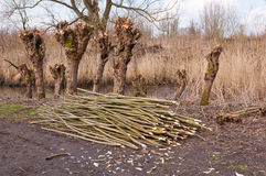 Alte pollarded Weiden in einem holländischen Naturreservat Stockbild