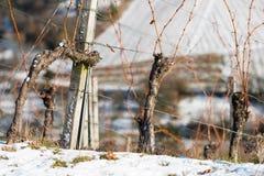 Alte Reben in einem Weinberg mit Schnee Stockfoto