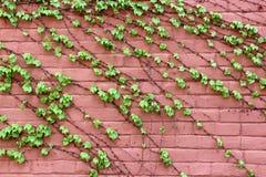 Alte rosa Backsteinmauer mit Stoff, gesunde grüne Reben, die über dem Gesicht von ihm wachsen Stockbild
