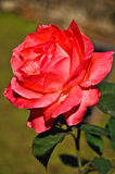 Alte rosafarbene Blume Stockbild
