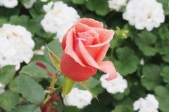 Alte rosafarbene Farbrose Lizenzfreie Stockfotos