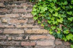 Alte rostige Backsteinmauerbeschaffenheit mit grünem Efeu verlässt als Hintergrund Lizenzfreies Stockbild