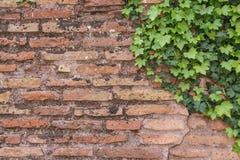 Alte rostige Backsteinmauerbeschaffenheit mit nettem grünem Efeu verlässt als backg Lizenzfreies Stockfoto