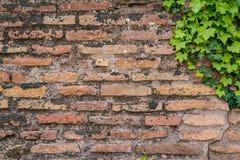 Alte rostige Backsteinmauerbeschaffenheit mit nettem grünem Efeu verlässt als backg Stockbild