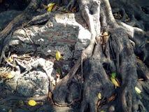 Alte Ruinenwandabdeckung durch große Baumwurzel Stockbild