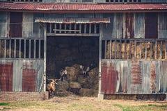 Alte rustikale Heuscheune mit Ziegen Stockfotografie