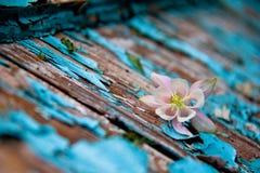 Alte schäbige blaue Farbe auf dem Baum, weiße Blume Stockfoto