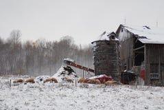 Alte Schafe, Bauernhof Lizenzfreies Stockfoto