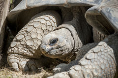 Alte Schildkröte Stockfoto