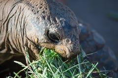 Alte Schildkröte, die Frühstück isst Lizenzfreie Stockbilder