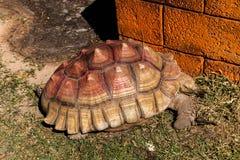Alte Schildkröten der merkwürdigen Schildkröten Stockfotos