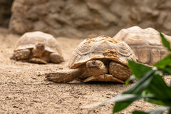 Alte Schildkröten, die in den Sand kriechen stockbild